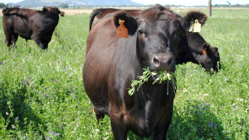 Produtor fique atento nas plantas tóxicas para bovinos