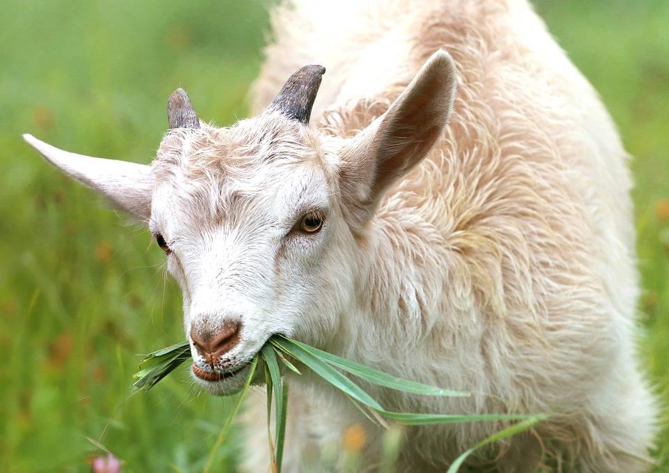 Por que investir na criação de cabras leiteiras