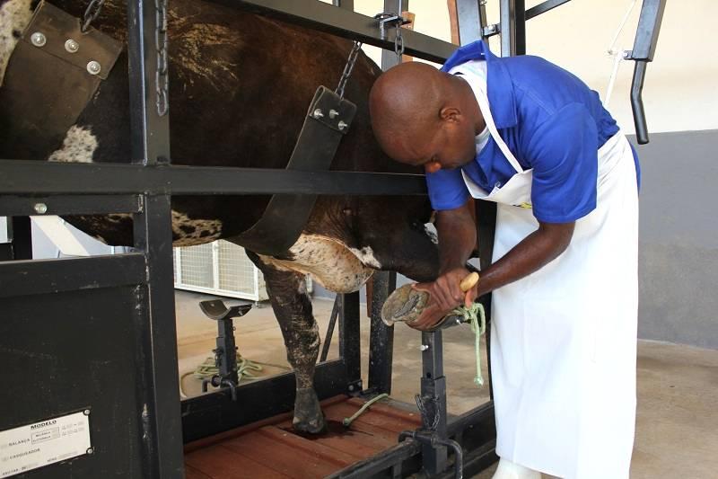 Casqueamento preventivo: Aliado número #1 para prevenção das doenças dos cascos em bovinos