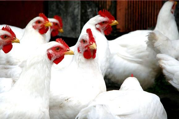 Pulorose aviária: Entenda essa doença que causa queda na produção