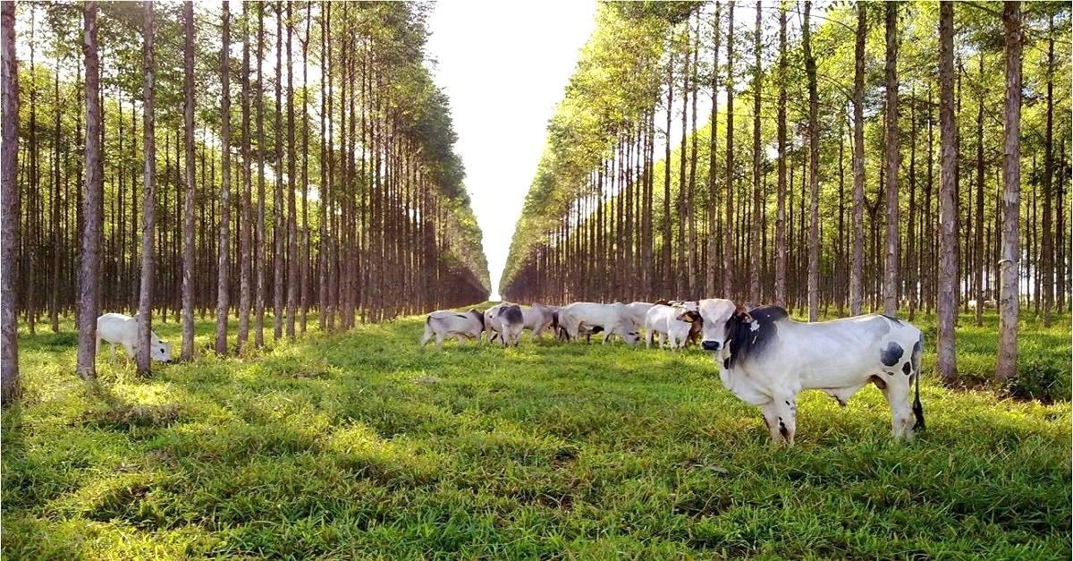 Sistema de integração lavoura-pecuária-floresta (ILPF)