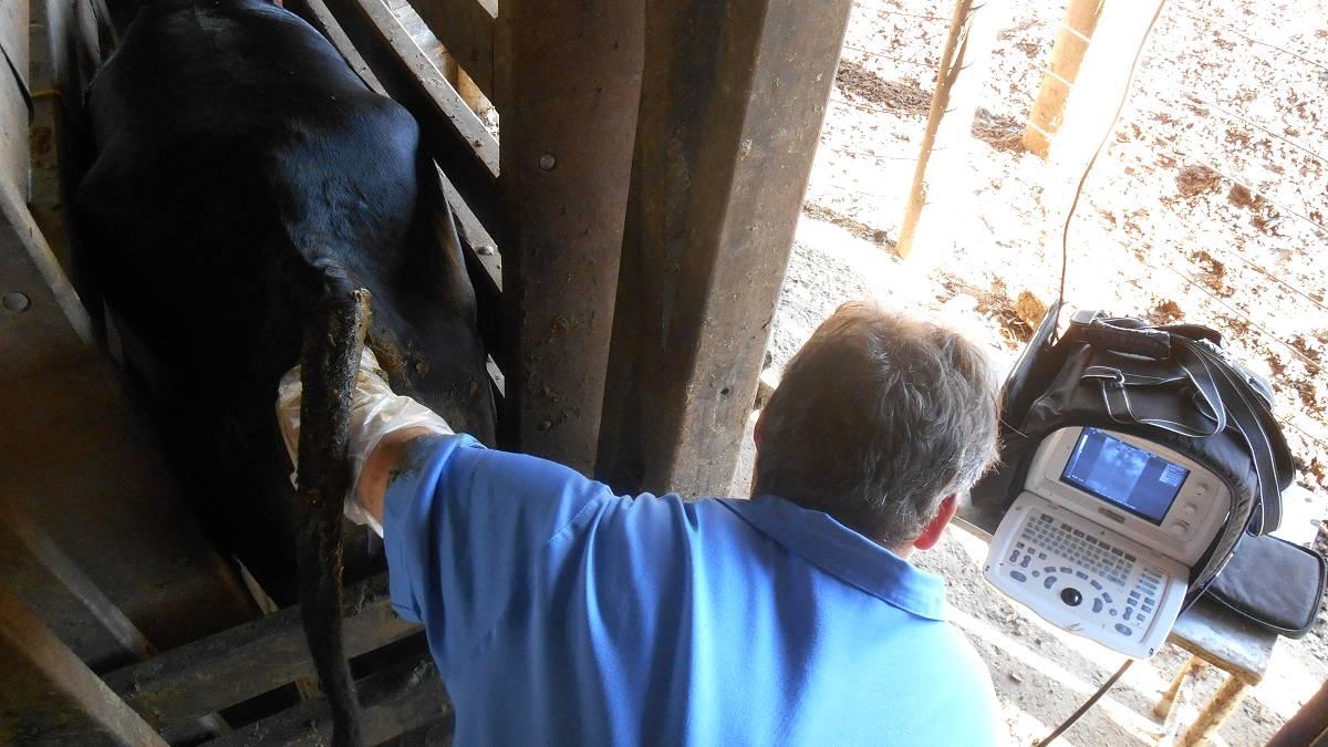 Inseminação artificial em bovinos: Conheça os ganhos proporcionados pela técnica!