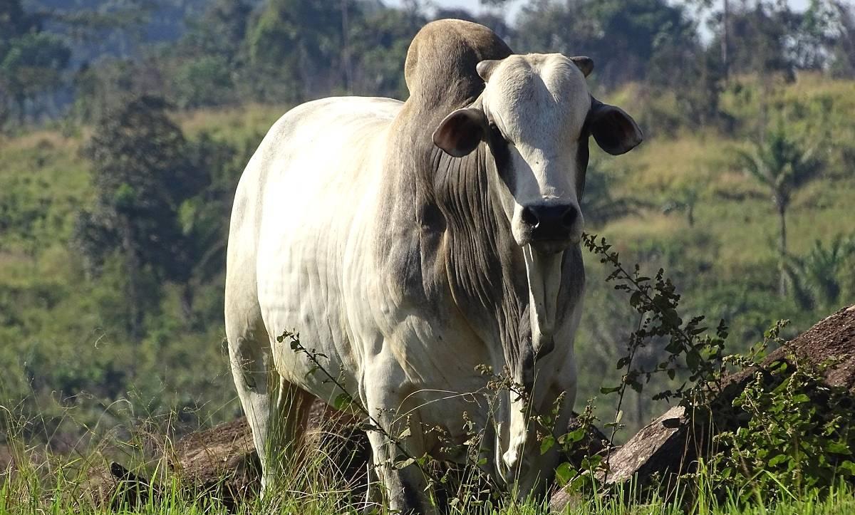 Castração em bovinos: procedimento que sempre gera dúvida entre os pecuaristas!
