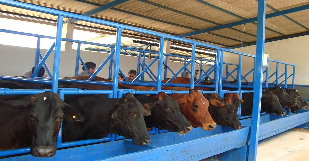 Transferência de embriões em bovinos: Aqui tem dicas simples e de sucesso!