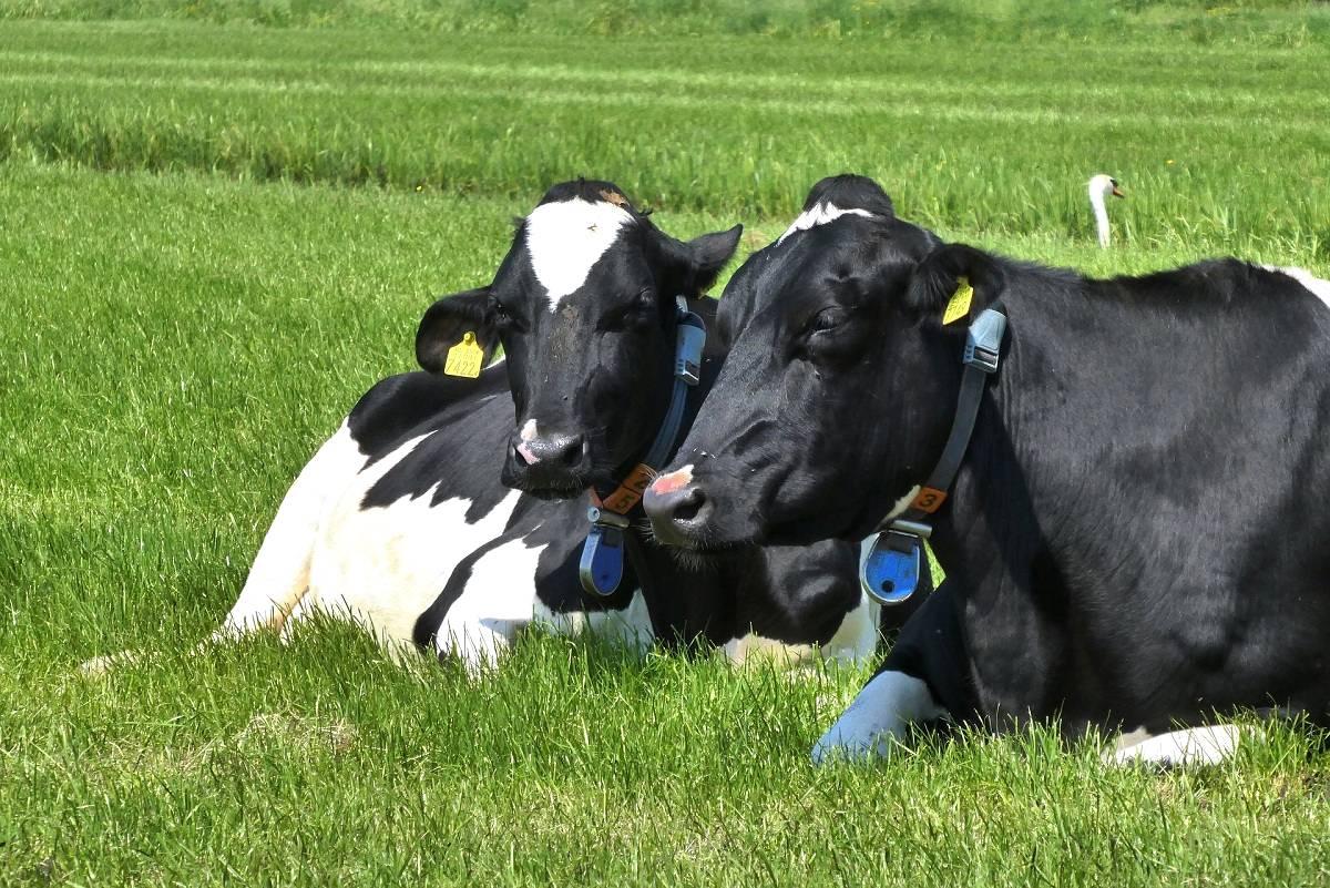 Brucelose bovina -  deixe o seu rebanho livre dessa doença!