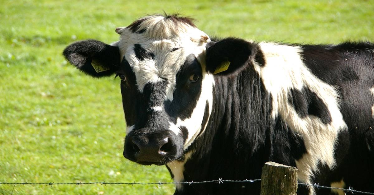 Prolapso uterino em vacas: Você já ouviu falar sobre essa doença?
