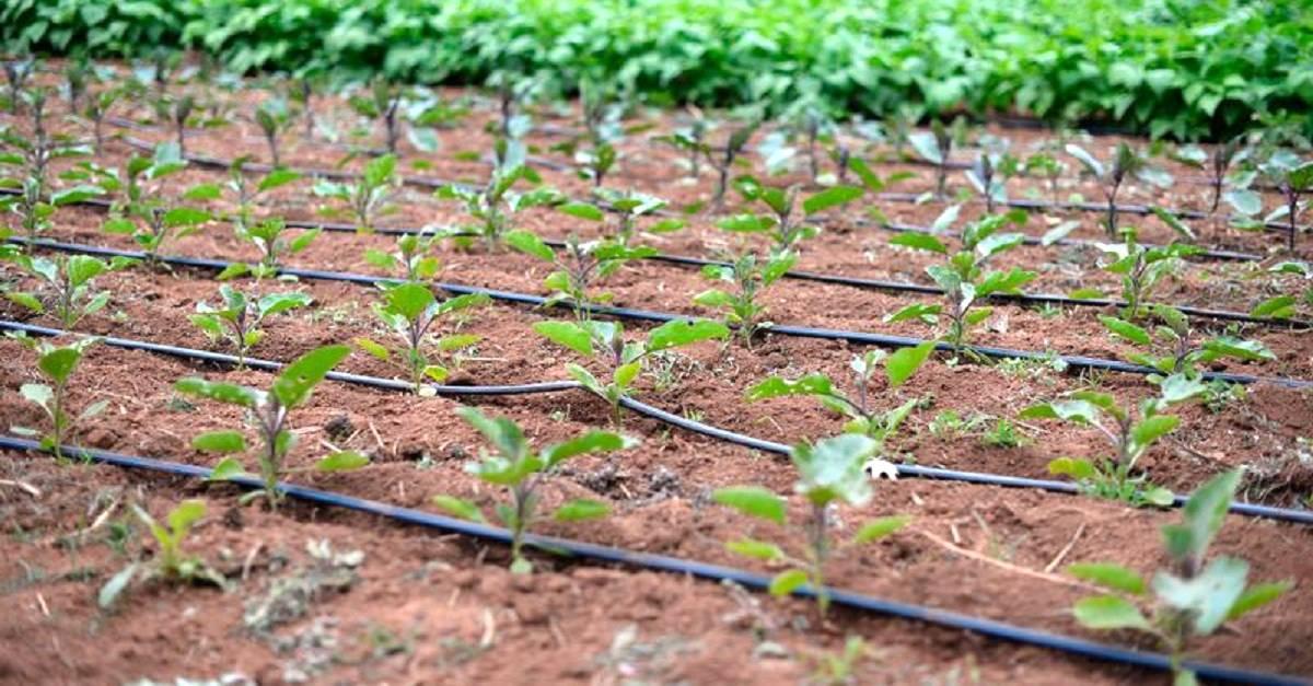 Irrigação por gotejamento: Sistema econômico e lucrativo
