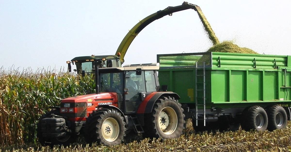 Silagem de milho: Uma alternativa para nutrir o rebanho!