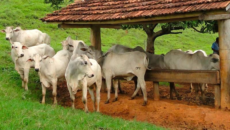 Nutrição de bovinos de corte: suplementação com proteína na seca