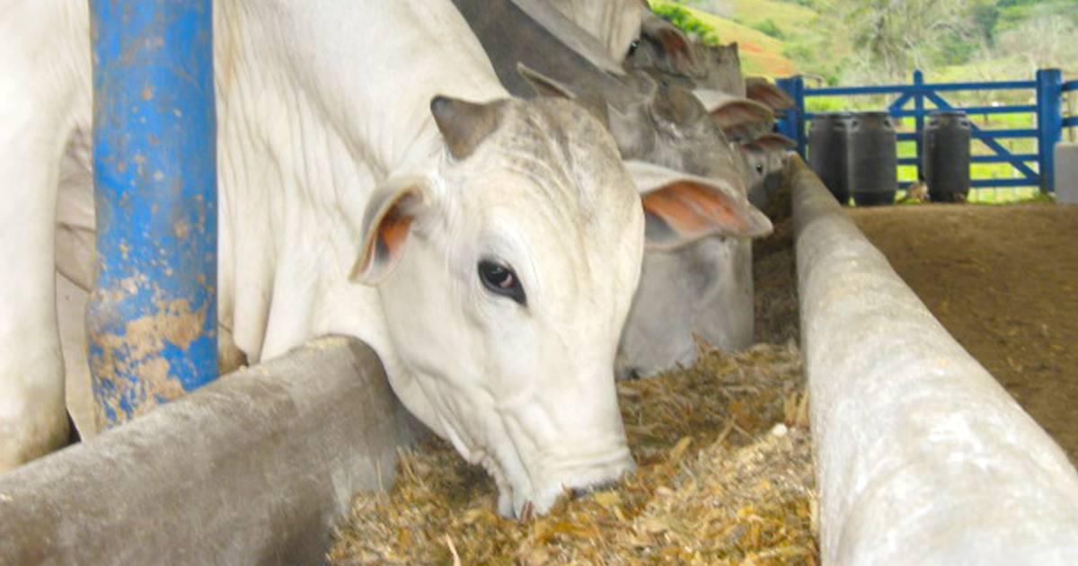 Nutrição de bovinos de corte: entenda o papel dos minerais e vitaminas