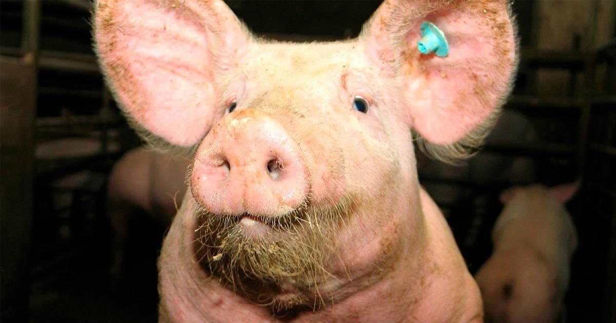 Manejo de suínos: entenda o momento pré-abate!