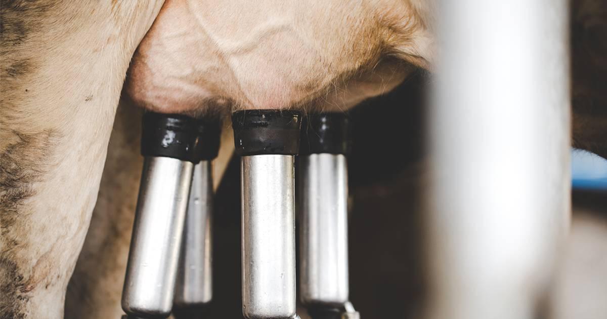 Mastite bovina: conheça as perdas causadas pela doença