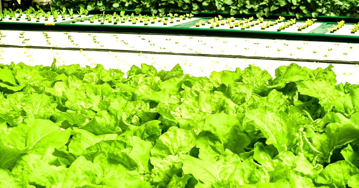 Alface hidropônica: entenda mais sobre esse sistema de cultivo