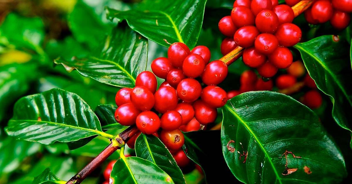 Produção de café: confira as principais doenças e pragas