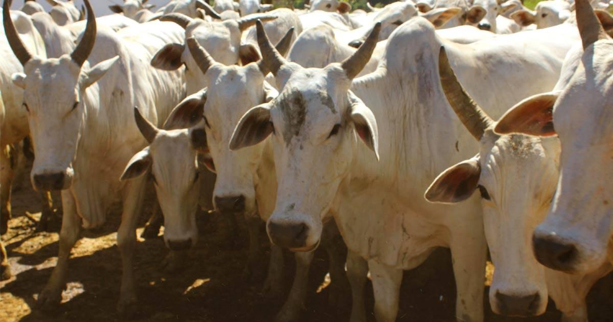 Manejo sanitário de bovinos de corte: saiba a importância