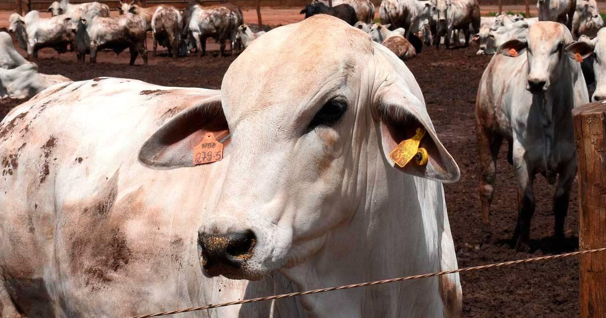 Castração de bovinos de corte: respondemos as dúvidas mais comuns dos pecuaristas!