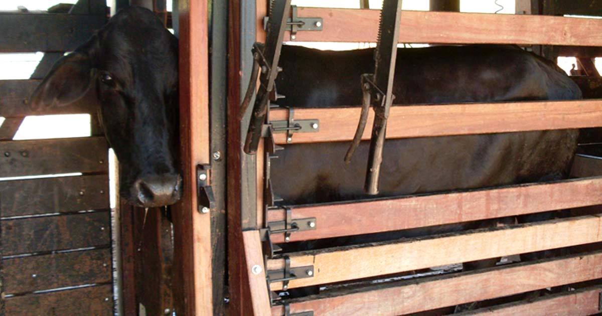 Métodos de contenção de bovinos: conheça os principais!