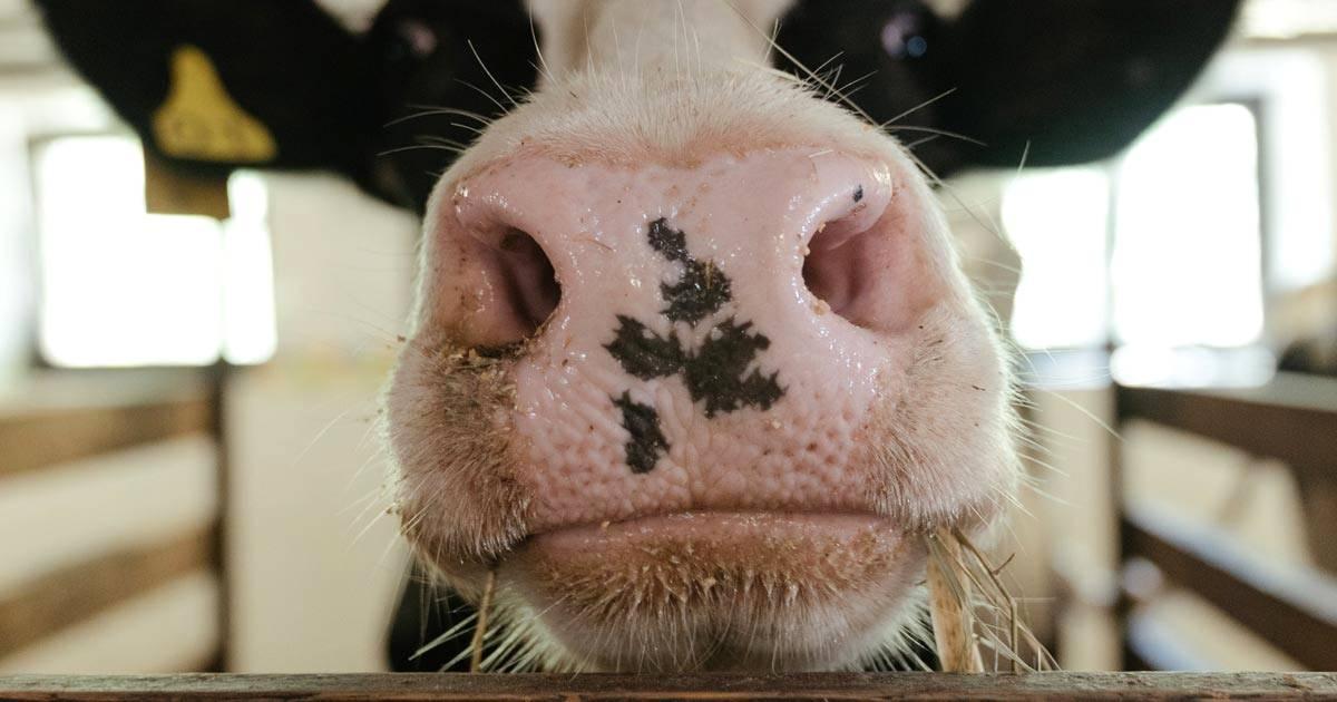 Doença respiratória bovina: ações de manejo ajudam na prevenção!