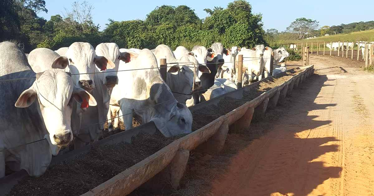 Manejo alimentar para gado de corte: a importância do manejo de forragens e suplementos