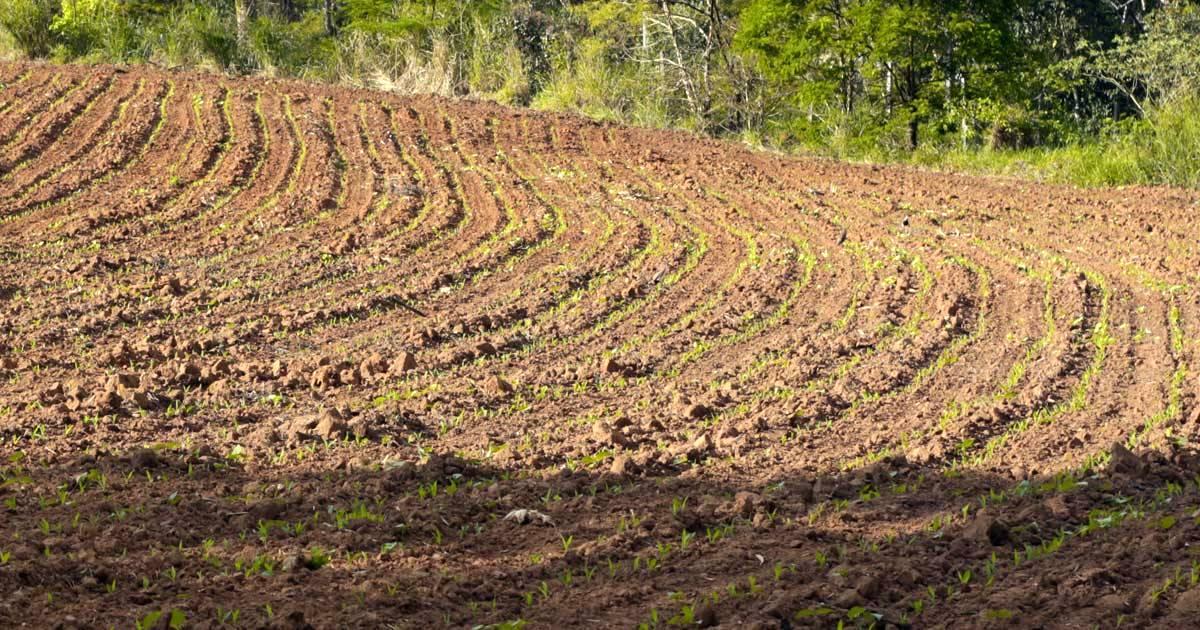 Milho safrinha: como preparar o solo para o cultivo
