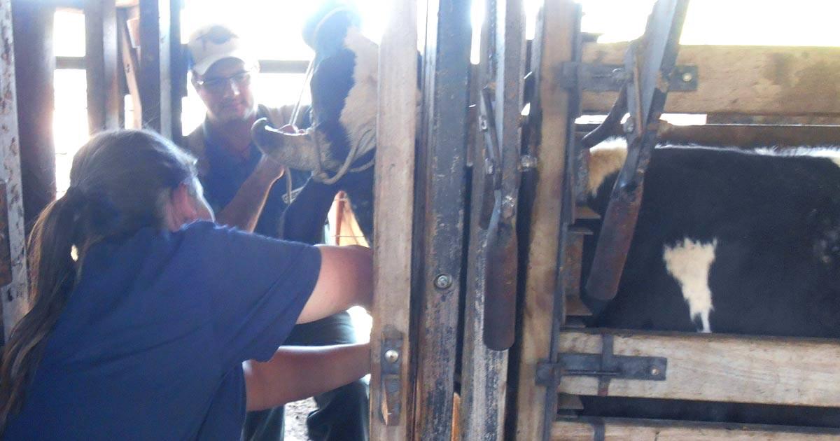 Vacinação em bovinos: saiba os segredos para um processo eficaz