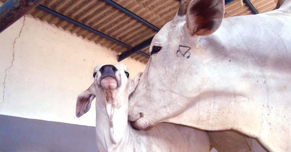 Saiba como se preparar para a estação de monta de gado de corte