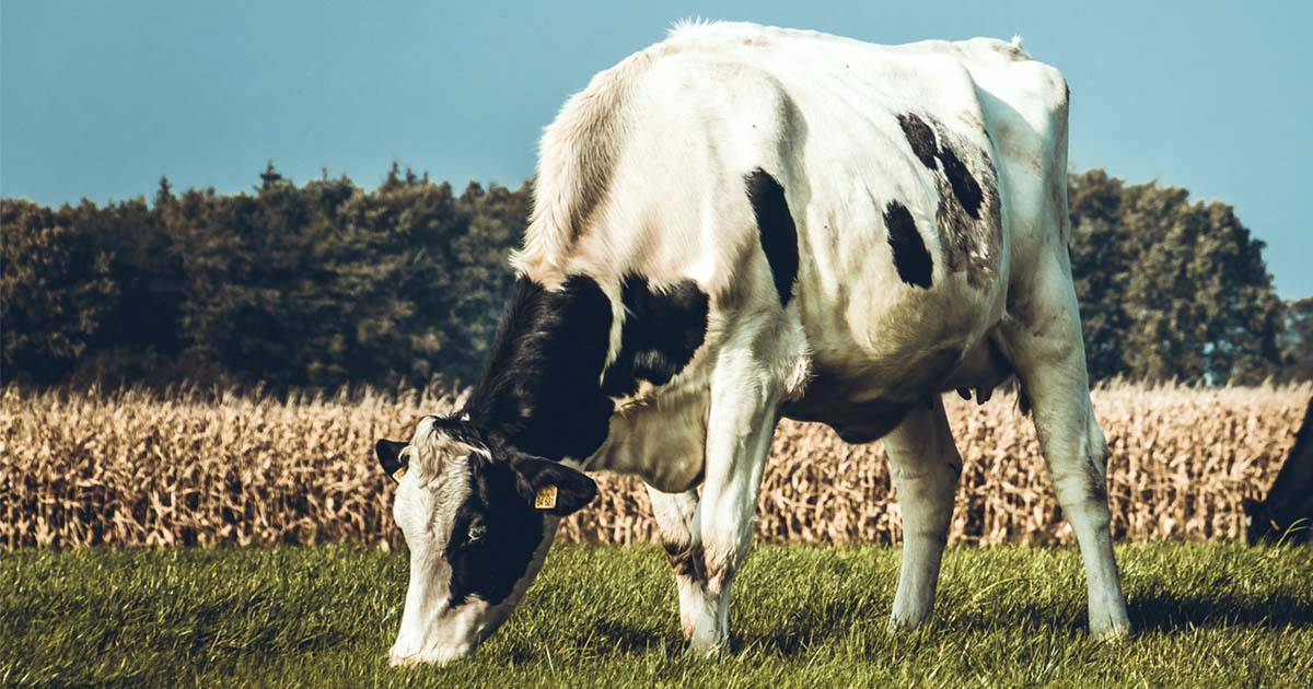 Timpanismo bovino: saiba como evitar a doença